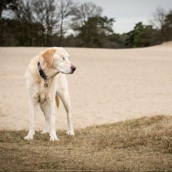 Oudere, blonde labrador met 1 oogje, op Soestduinen