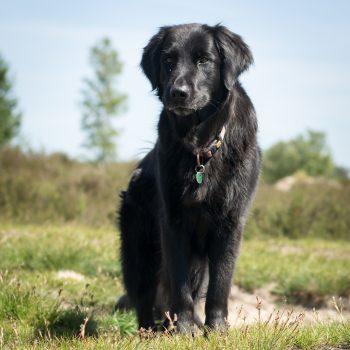 Grote, zwarte hond in de duinen