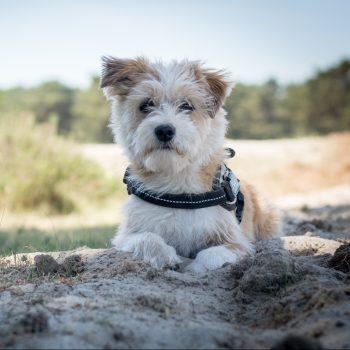 Afbeelding: Kleine hond liggend in het zand