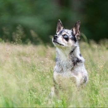 Kleine, gevlekte hond met blauwe ogen in het hoge gras
